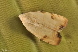 Xanthodes albago 2