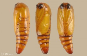 Xanthodes albago pupa