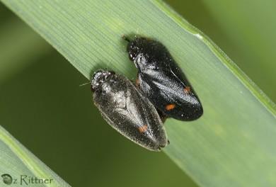 Cercopis septemmaculata