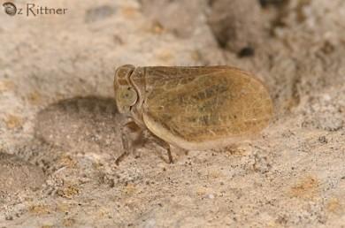 Flatidae 1