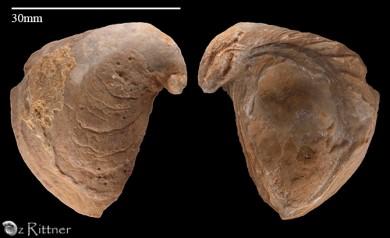 Amphidonte columba