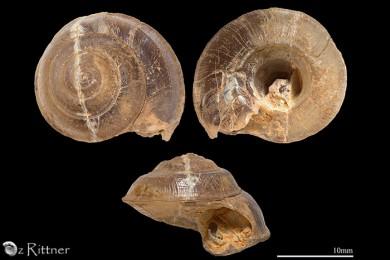 Eosolarium massei