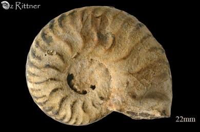 Hecticoceras caelatum