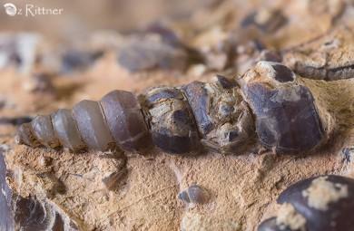 Turritella reyi