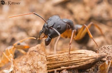 camponotus-kugleri-1