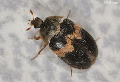 Attagenus fasciatus